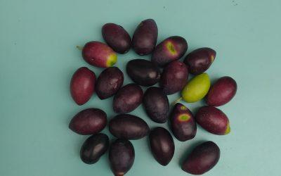 les Olives de la cour saint pierre